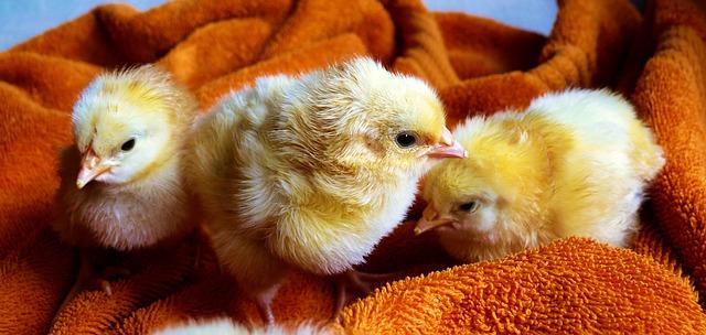 tři kuřata